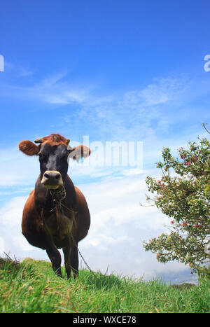 Cow chewing twigs on mountain above the clouds - Stock Photo