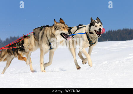 sportive dog team is running in the snow - Stock Photo