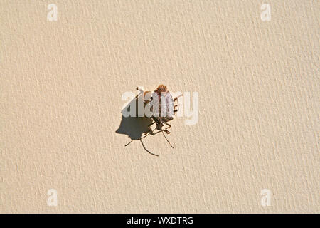 brown marmorated stink bug, Asian beetle or shield bug Latin halyomorpha halys the pentatomidae group of insects in Italy native to China and Asia - Stock Photo