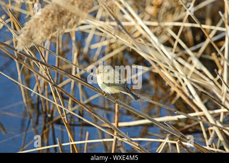 small chiffchaff Latin phylloscopus collybita a type of leaf warbler sitting on a reed in a nature reserve in Italy - Stock Photo