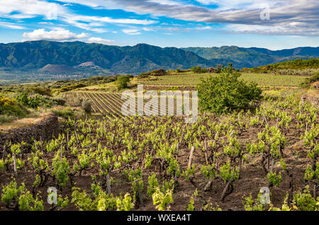 Vineyard of the mount Etna in Sicily, italy - Stock Photo