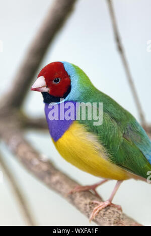 Gouldian finch - Erythrura gouldiae - Stock Photo