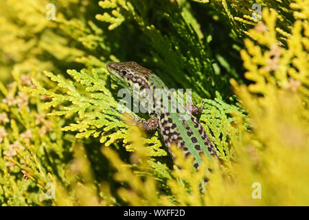 Italian wall lizard Latin podarcis sicula not muralis at rest on a thuja or thuya tree also called tree of life or arbor vitae cupressaceae in Italy - Stock Photo