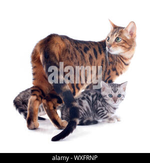 portrait of a purebred  bengal kittenand cat  on a white background - Stock Photo