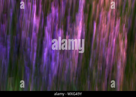 panning motion and image of wild heather, purple flowers - Stock Photo