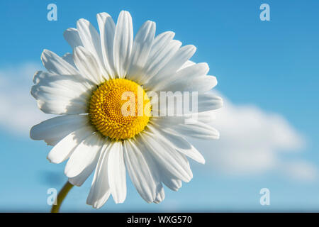Closeup of Marguerite with blue sky in spring - Stock Photo
