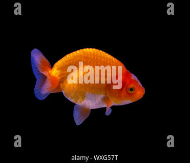 Lion head goldfish (Carassius auratus) isolated on black background - Stock Photo