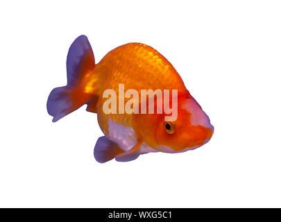 Lion head goldfish (Carassius auratus) isolated on white background - Stock Photo
