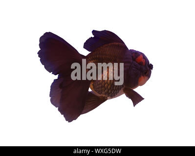 Black Oranda fish isolated on white background - Stock Photo