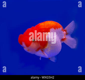 Lion head goldfish (Carassius auratus) on blue background - Stock Photo
