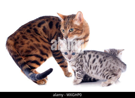 portrait of a purebred  bengal family on a white background - Stock Photo
