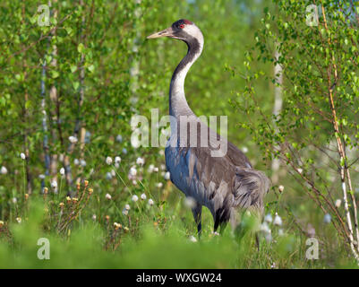 Common Crane stands for back view in green marsh breeding habitat - Stock Photo
