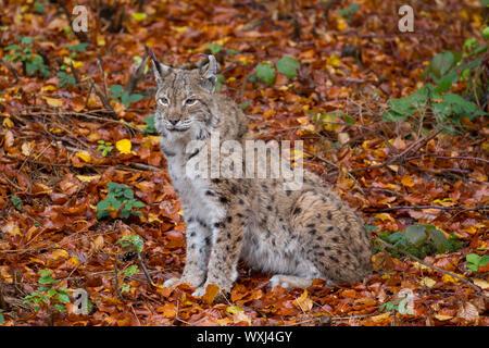 Eurasian Lynx (Lynx lynx). Adult sitting. Bavarian Forest, Bavaria - Stock Photo