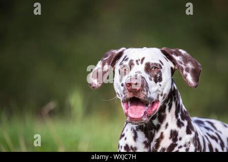 Dalmatian. Portrait of adult. Germany - Stock Photo