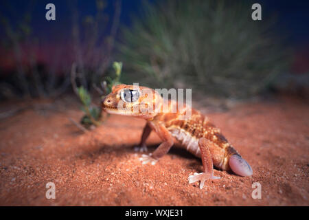 Three-lined knob-tailed gecko (Nephrurus levis) next to spinifex and mallee plants, Australia - Stock Photo