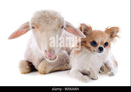 young lamb and chihuahua in front of white background - Stock Photo