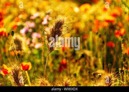 Golden spike in a defocused background of poppies and wild flowers.. Bokeh. - Stock Photo