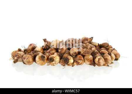 Flower bulbs isolated over white background - Stock Photo
