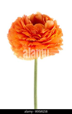 Beautiful orange eustoma isolated on white background. - Stock Photo