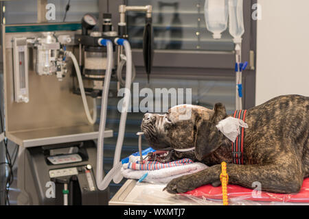 Dog intubated in small surgery room of veterinary clinic - Stock Photo