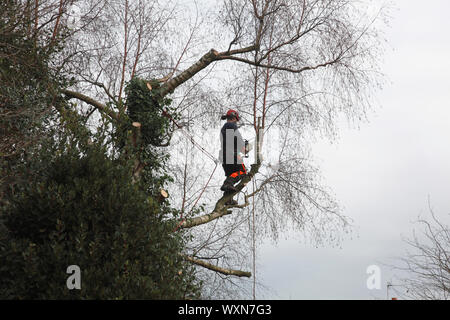 A tree surgeon at work with a chain saw reducing the size of a silver birch tree - Stock Photo