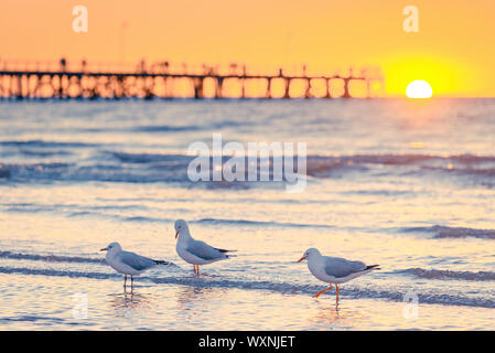 Seagulls at Semaphore Beach with pier on the background at sunset, South Australia - Stock Photo