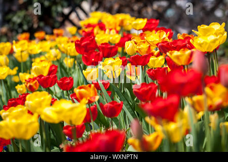 beautiful colorful yellow red tulips flowers outdoor in spring - Stock Photo