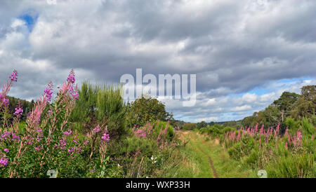 DAVA WAY WALK OR TRAIL DAVA TO GRANTOWN ON SPEY MORAY SCOTLAND ROSEBAY WILLOW HERB Chamaenerion angustifolium GROWING ALONG THE TRAIL - Stock Photo