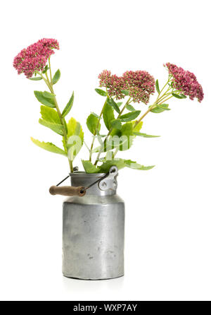 Hylotelephium spectabile flowers in old milk churn islated on white background - Stock Photo