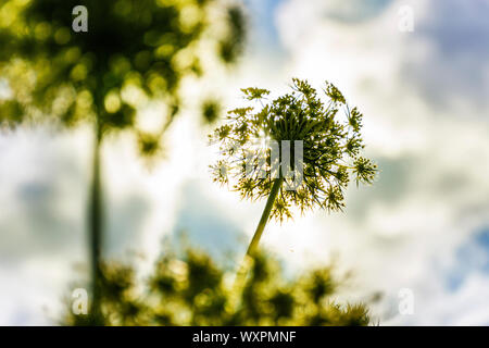 Angelica plan, daucus carota, umbelliferae bllom, family plant - Stock Photo