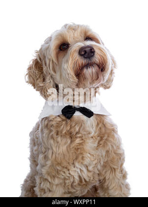 Head shot of sweet young adult female silky Labradoodle wearing gala collar and bow tie, looking up beside camera with brown eyes. Isolated on white b - Stock Photo