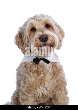 Head shot of sweet young adult female silky Labradoodle wearing gala collar and bow tie, looking straight to camera with brown eyes. Isolated on white - Stock Photo