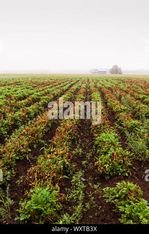 The early autumn mist covers the potato fields and the old barn houses at the rural Finland. The cold summer has not been kind to the potato leaves. - Stock Photo