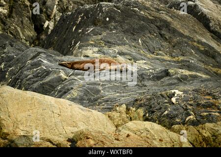 pretty pacific harbor seal enjoying life on the rocks at the coast of British Columbia before swimming down to California - Stock Photo