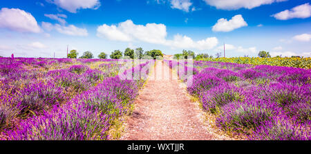 Lavender field in Provence France. Panoramic landscape view with path between blooming purple lavender flowers. - Stock Photo