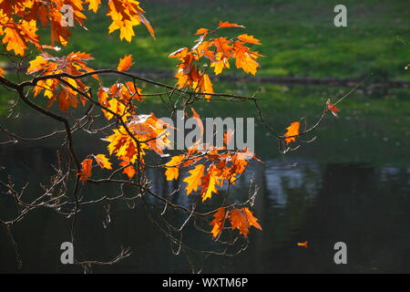 yellow discolored oak leaves on branches in backlight on a body of water, Germany, Europe - Stock Photo