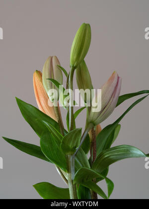 PINK AND ORANGE LILY BUDS IN A VASE - Stock Photo