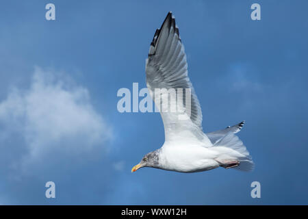 Close up underside of wings and feathers of juvenile Herring Gull, Larus argentatus smithsonianus, soaring in lone flight at Cape Cod, USA - Stock Photo