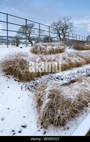 Herbaceous border with stylish, contemporary design (grasses in lines) - close-up of corner of snow covered winter garden - Yorkshire, England, UK