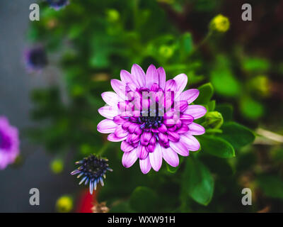 Flower purple dahlia close up top view in the garden - Stock Photo