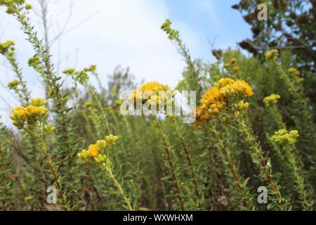 Native to the area of Ballona Freshwater Marsh, this flamboyant plant is known to taxonomy as Isocoma menziesii, and commonly as Menzies Goldenbush. - Stock Photo