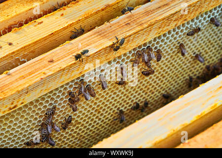 Close up view of the working bees on the honeycomb with sweet honey. Honey is beekeeping healthy produce. - Stock Photo