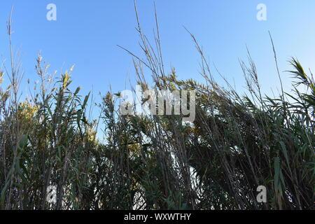 Cornfields and their surrounding nature in Aveiro - Stock Photo
