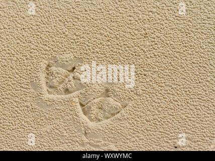 Closeup of footprints of a gull on the beach, Juist island, Germany