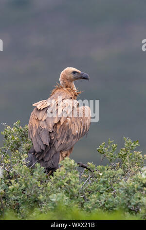 Griffon vulture (Gyps fulvus) perched in a tree, Spain - Stock Photo