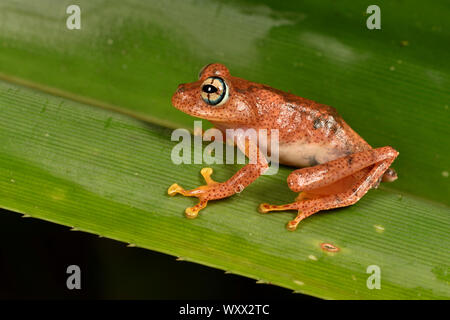 Fiery Bright-eyed Frog (Boophis pyrrhus) on a leaf, Andasibe, Perinet, Region Alaotra-Mangoro, Madagascar - Stock Photo