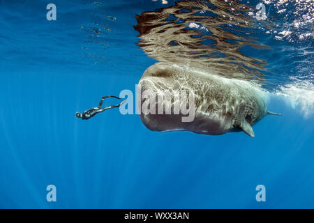 Freediver swimming with female sperm whale, Physeter macrocephalus, Vulnerable (IUCN), Dominica, Caribbean Sea, Atlantic Ocean. Photo taken under perm - Stock Photo