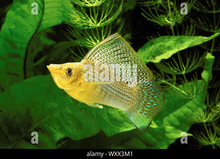 Yucatan molly (Poecilia velifera) male in aquarium - Stock Photo