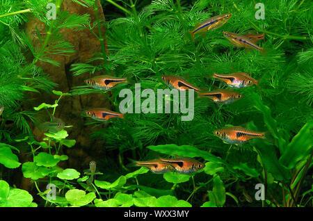 Lambchop rasbora (Trigonostigma espei) and Dadios (Laubuca dadiburjori) in aquarium - Stock Photo