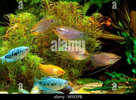 Pearl gouramis (Trichopodus leerii) and Three spot gourami (Trichopodus trichopterus) in aquarium - Stock Photo